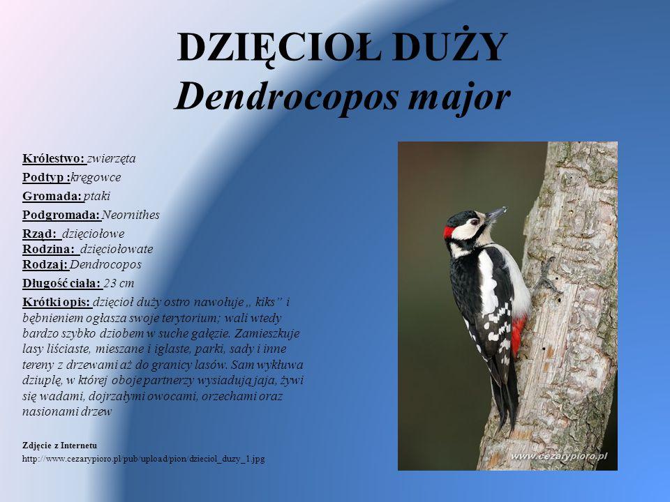 DZIĘCIOŁ DUŻY Dendrocopos major