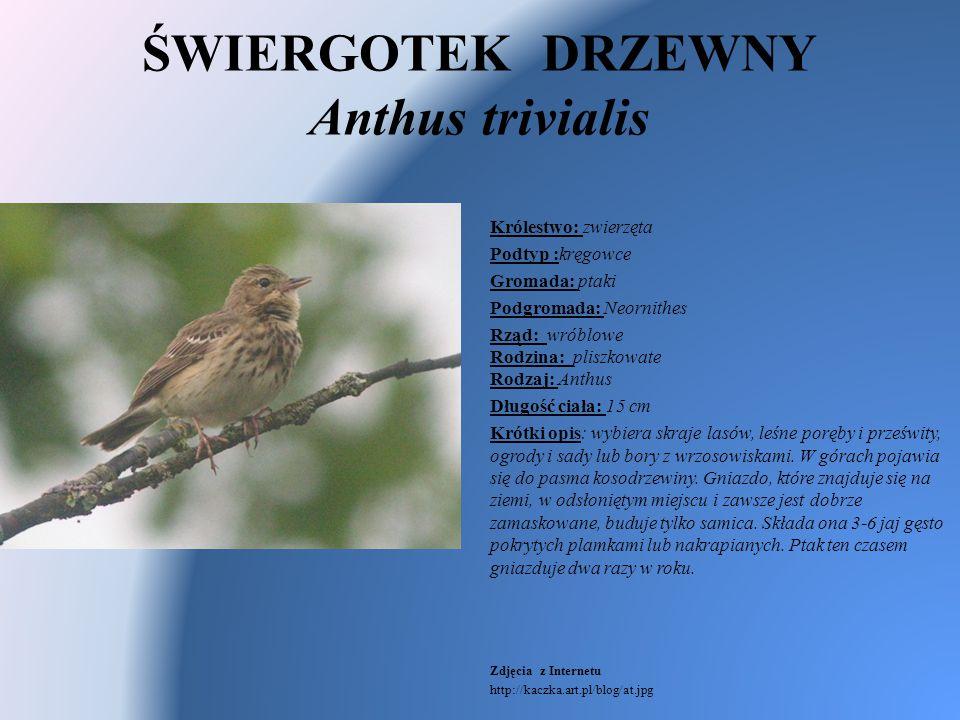ŚWIERGOTEK DRZEWNY Anthus trivialis