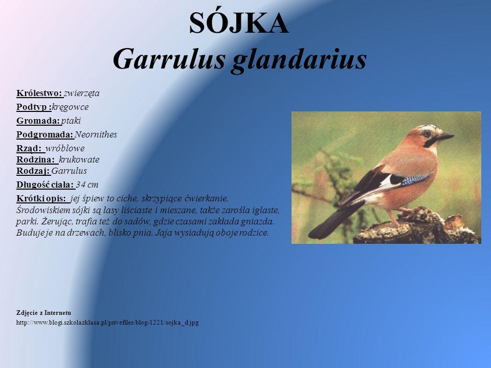 SÓJKA Garrulus glandarius