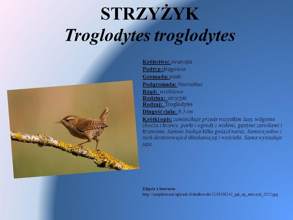 STRZYŻYK Troglodytes troglodytes