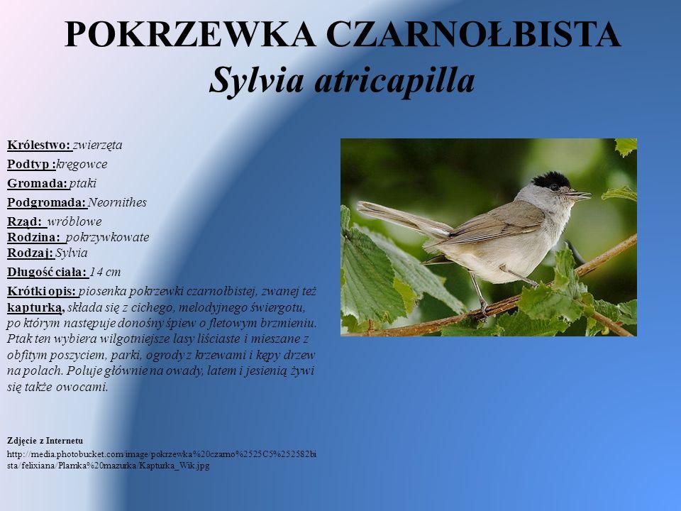 POKRZEWKA CZARNOŁBISTA Sylvia atricapilla