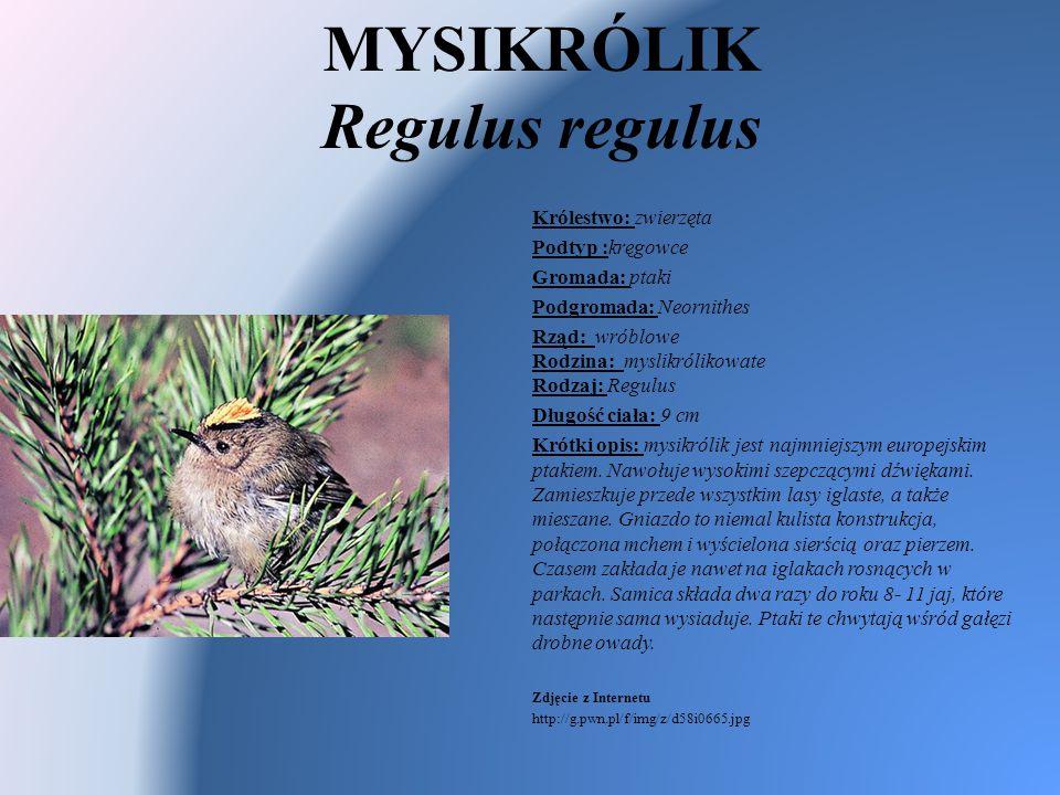 MYSIKRÓLIK Regulus regulus