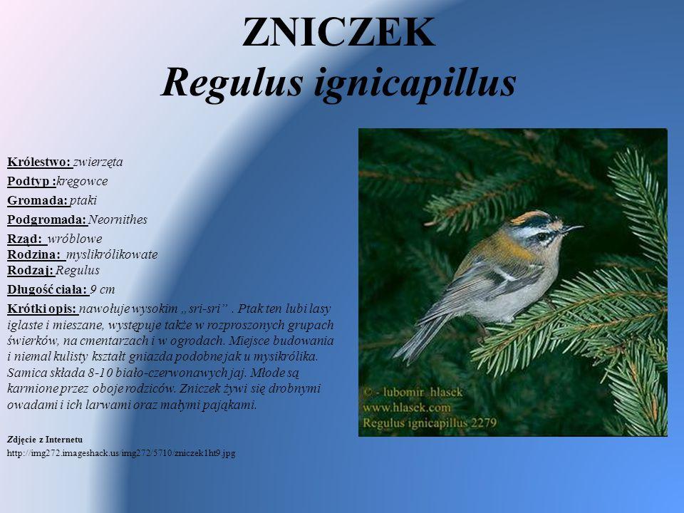 ZNICZEK Regulus ignicapillus