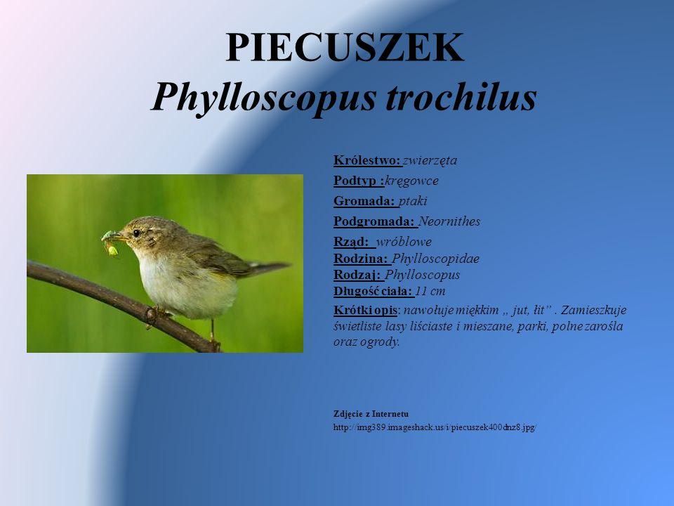 PIECUSZEK Phylloscopus trochilus