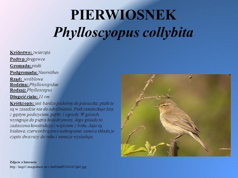 PIERWIOSNEK Phylloscyopus collybita