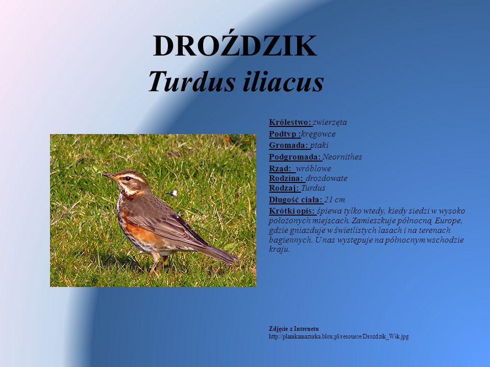 DROŹDZIK Turdus iliacus