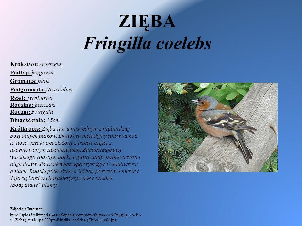 ZIĘBA Fringilla coelebs