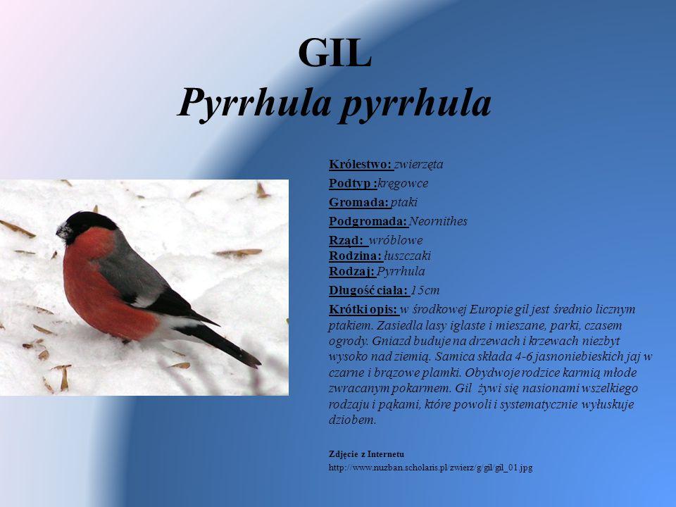 GIL Pyrrhula pyrrhula Królestwo: zwierzęta Podtyp :kręgowce