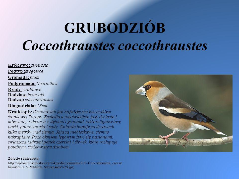 GRUBODZIÓB Coccothraustes coccothraustes