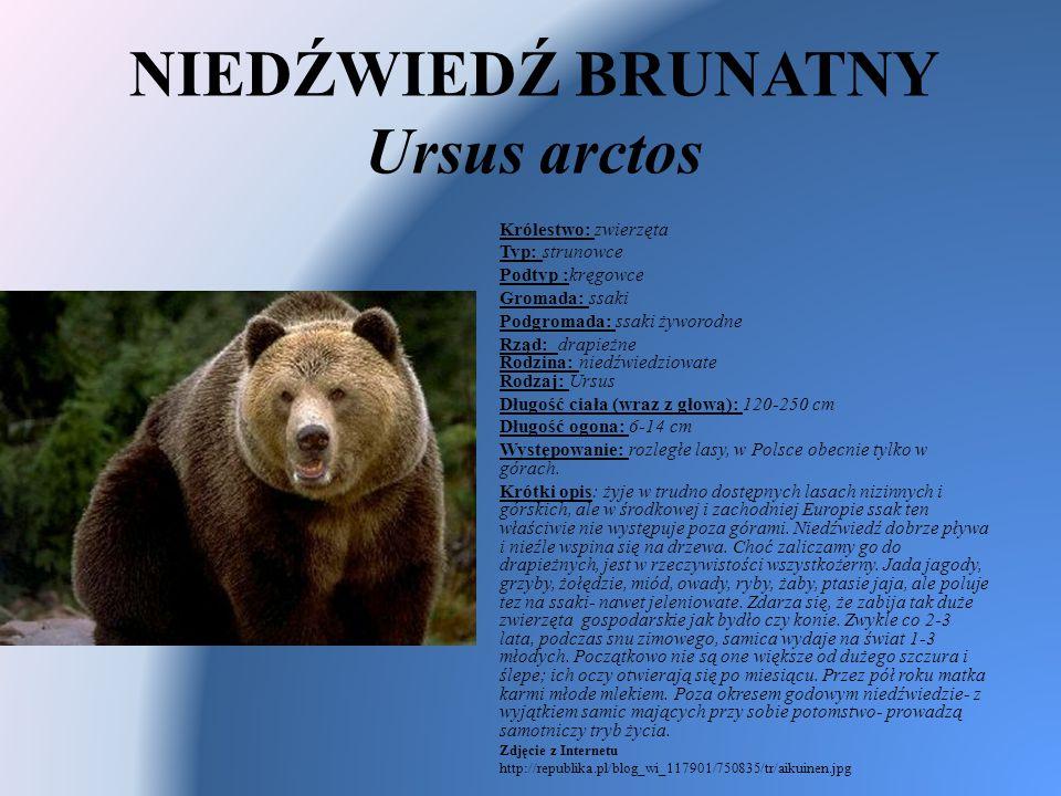 NIEDŹWIEDŹ BRUNATNY Ursus arctos