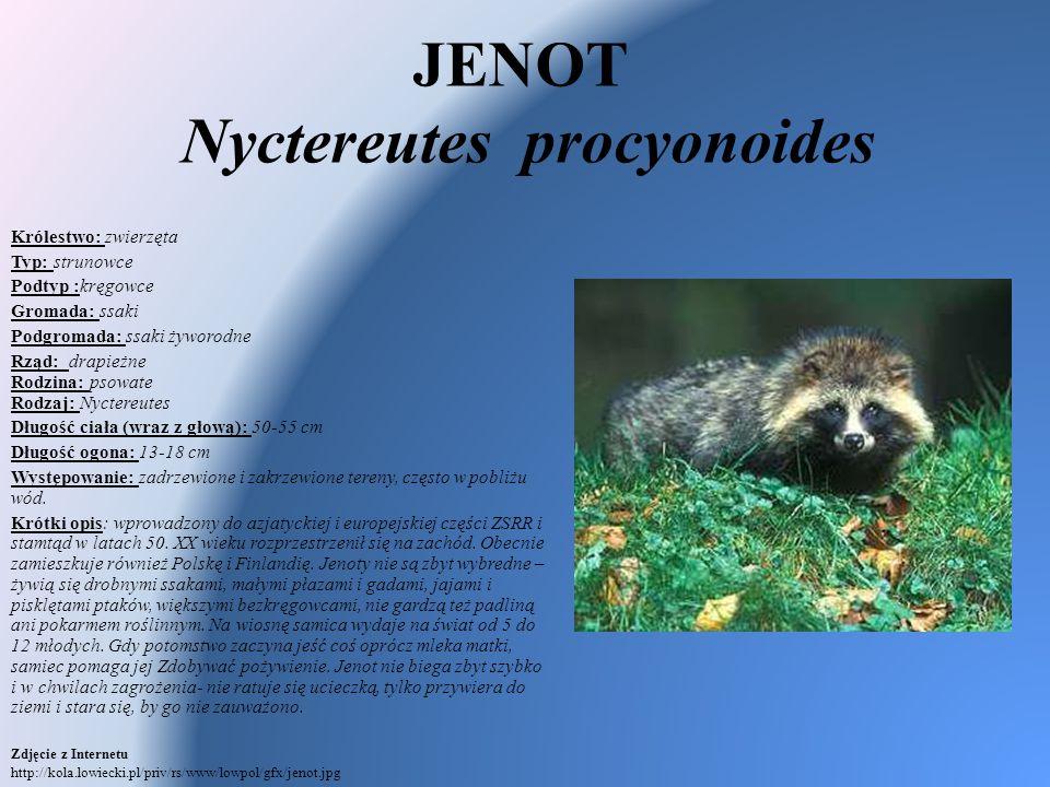 JENOT Nyctereutes procyonoides