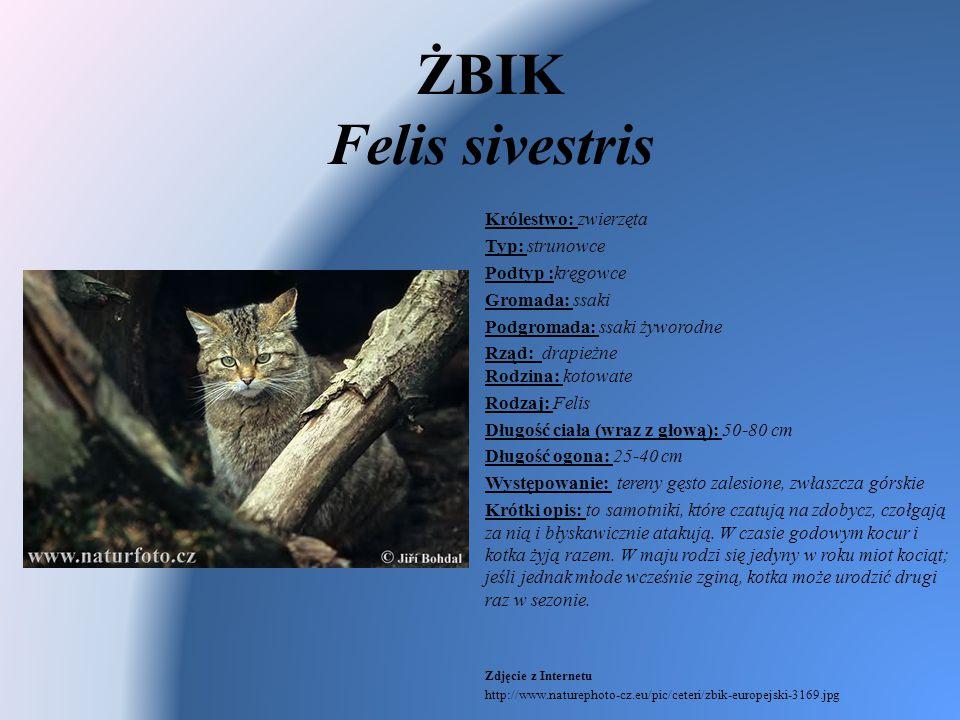 ŻBIK Felis sivestris Królestwo: zwierzęta Typ: strunowce