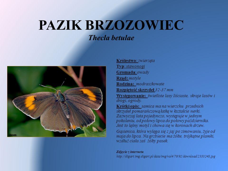 PAZIK BRZOZOWIEC Thecla betulae