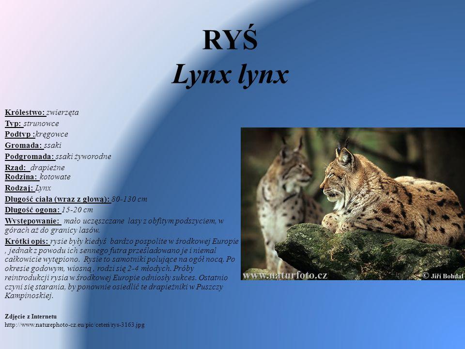 RYŚ Lynx lynx Królestwo: zwierzęta Typ: strunowce Podtyp :kręgowce