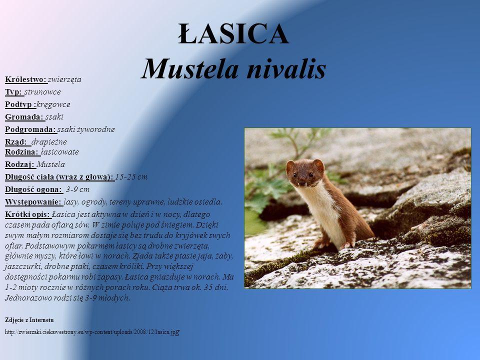 ŁASICA Mustela nivalis