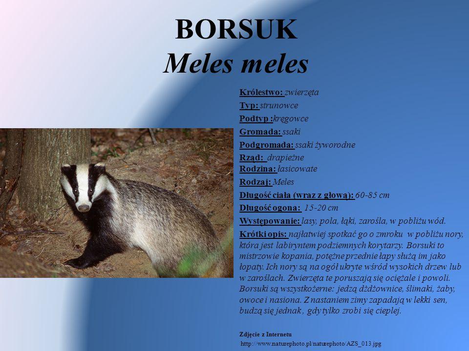 BORSUK Meles meles Królestwo: zwierzęta Typ: strunowce