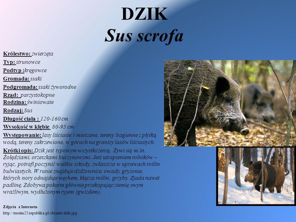 DZIK Sus scrofa Królestwo: zwierzęta Typ: strunowce Podtyp :kręgowce