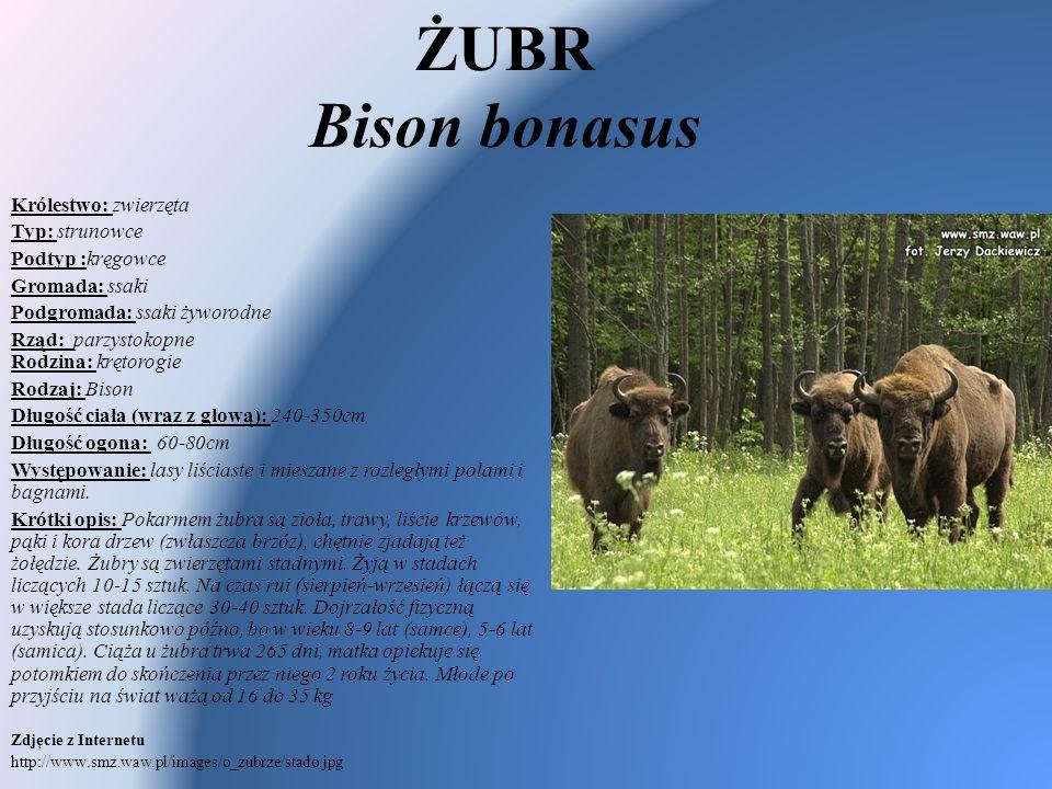 ŻUBR Bison bonasus Królestwo: zwierzęta Typ: strunowce