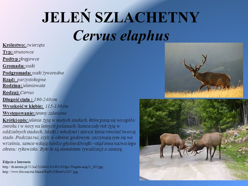 JELEŃ SZLACHETNY Cervus elaphus