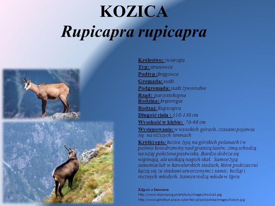 KOZICA Rupicapra rupicapra