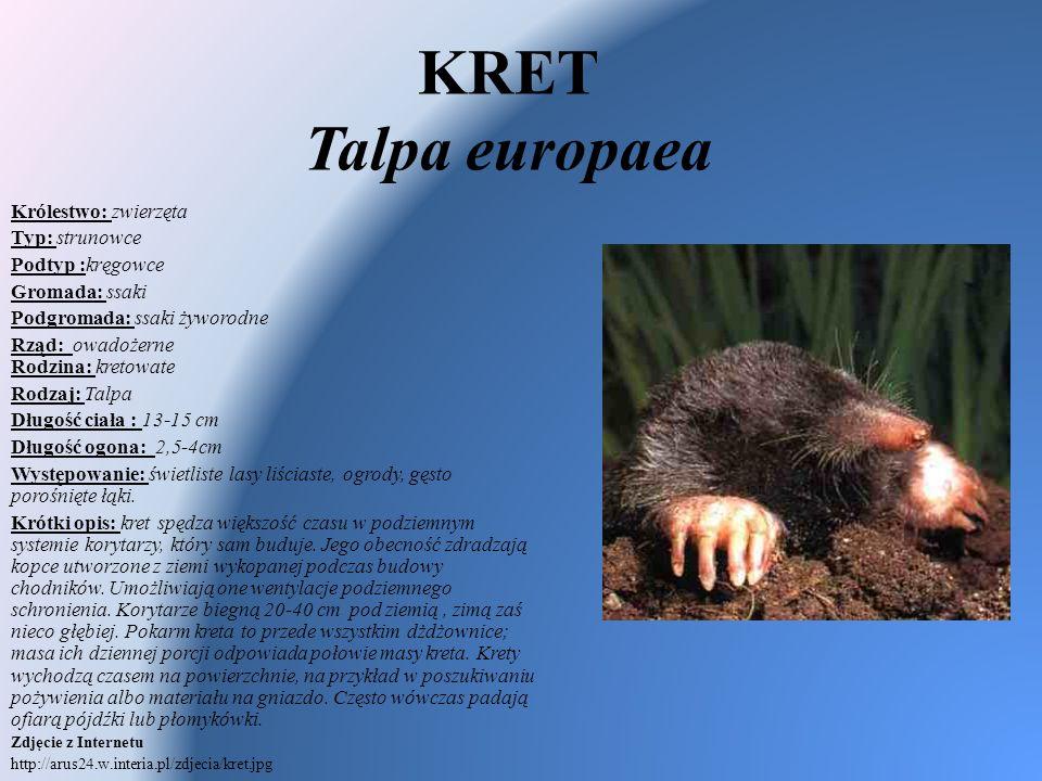 KRET Talpa europaea Królestwo: zwierzęta Typ: strunowce