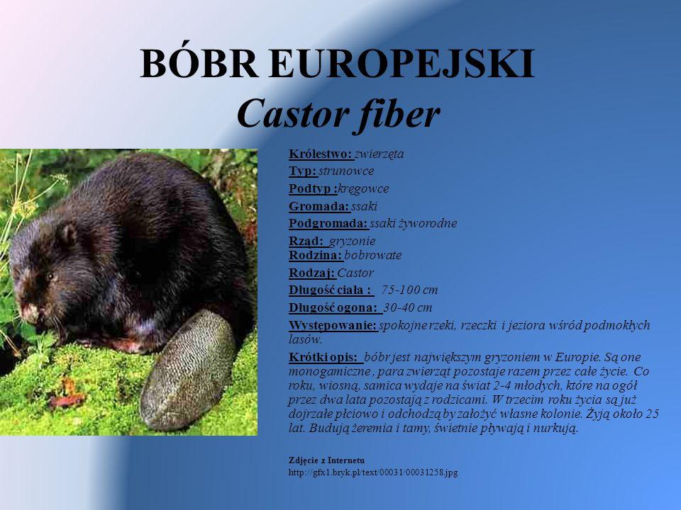 BÓBR EUROPEJSKI Castor fiber