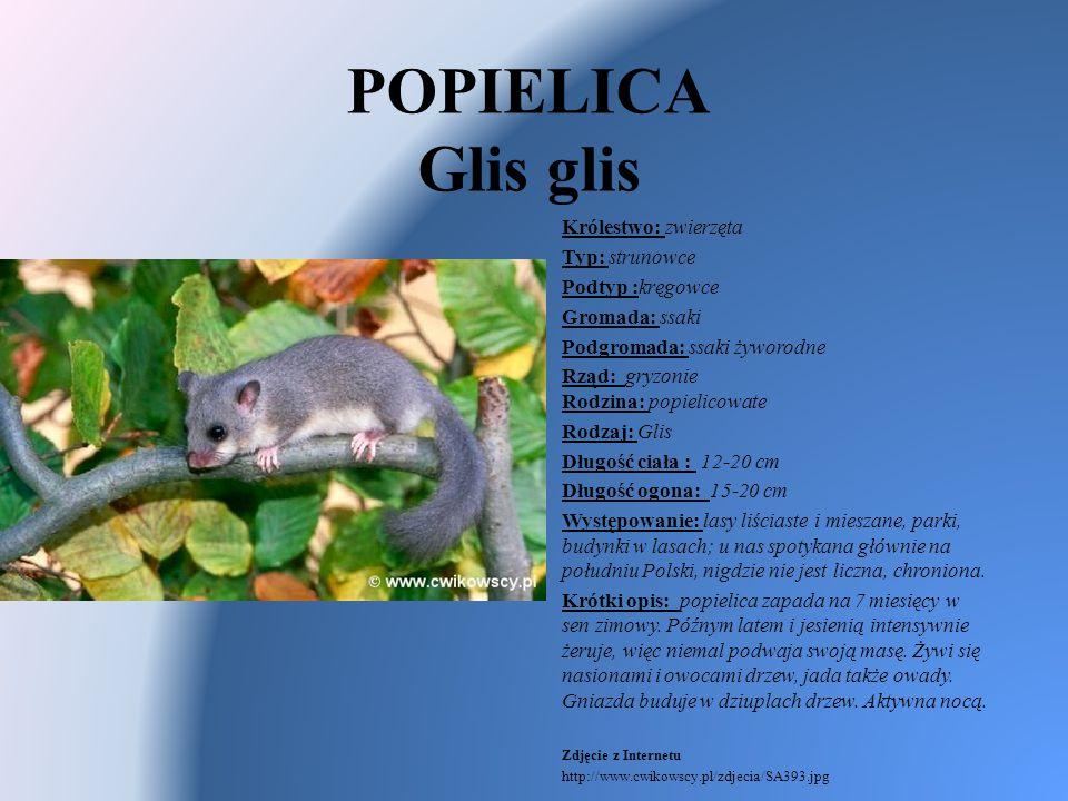 POPIELICA Glis glis Królestwo: zwierzęta Typ: strunowce