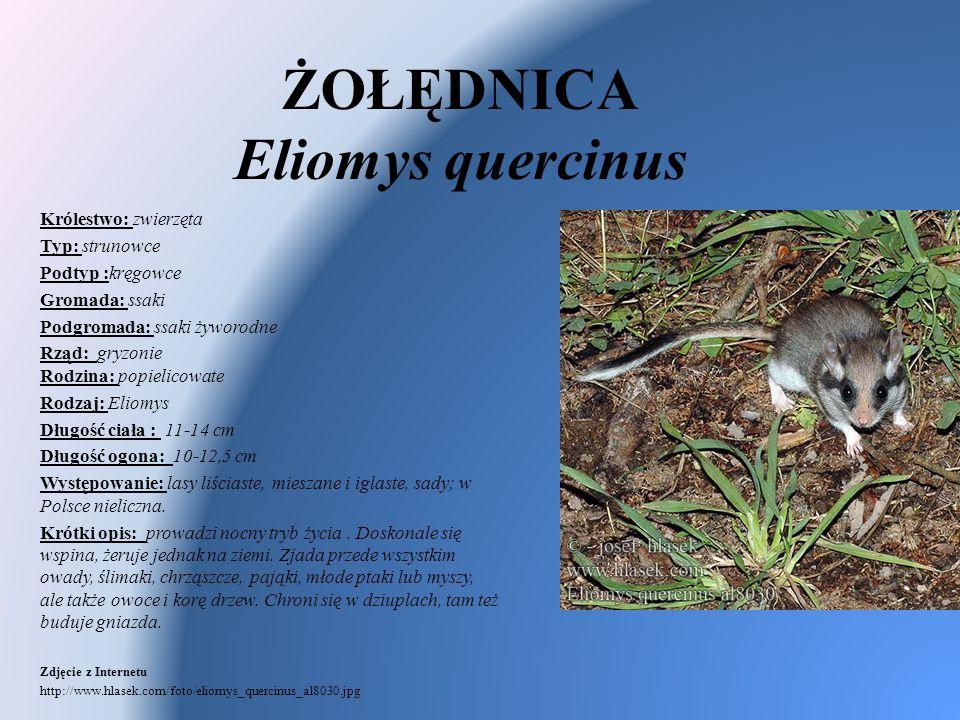 ŻOŁĘDNICA Eliomys quercinus