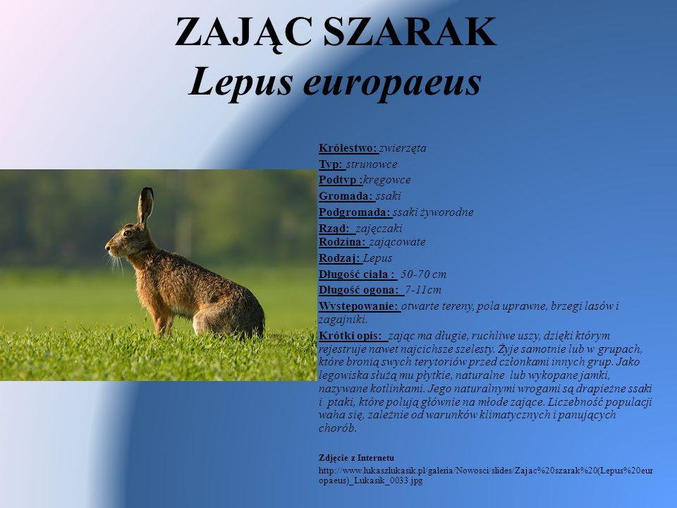 ZAJĄC SZARAK Lepus europaeus