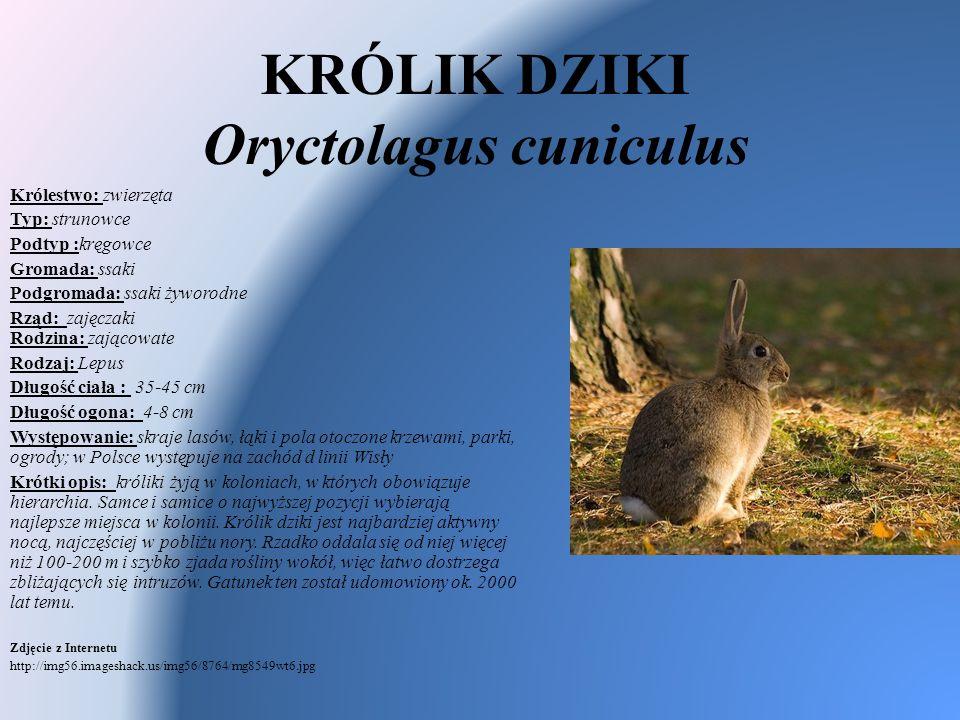 KRÓLIK DZIKI Oryctolagus cuniculus