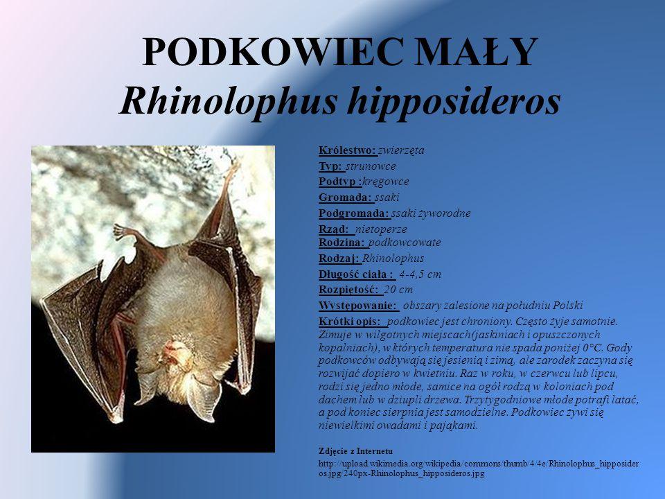 PODKOWIEC MAŁY Rhinolophus hipposideros