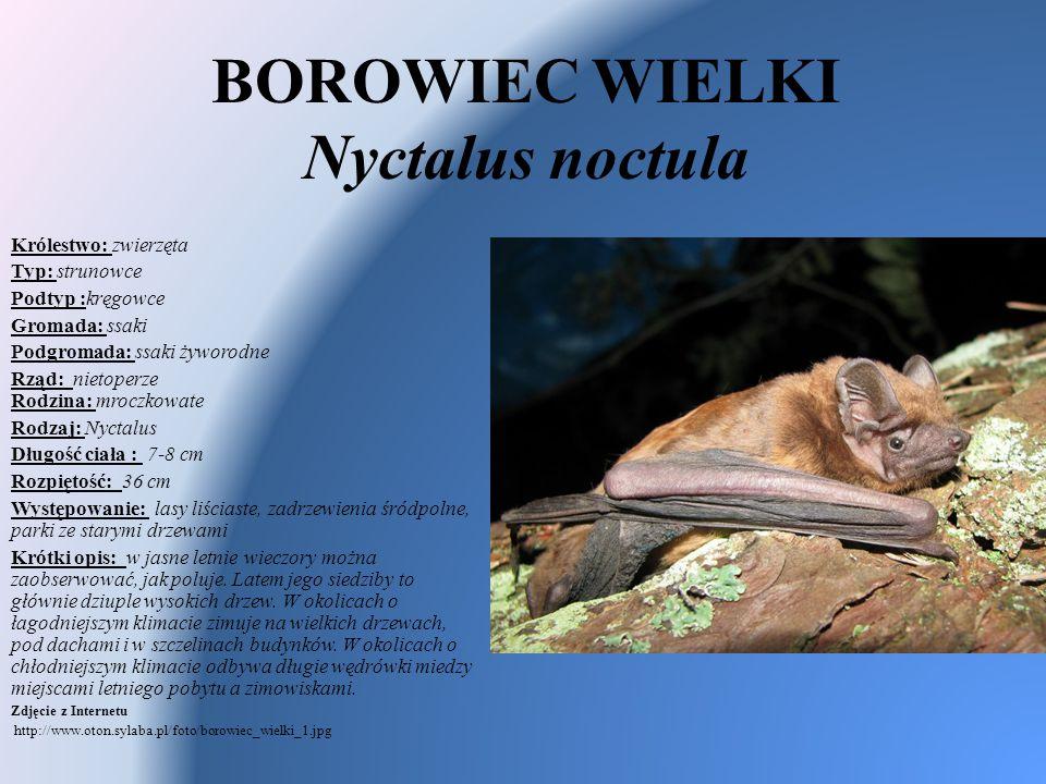 BOROWIEC WIELKI Nyctalus noctula
