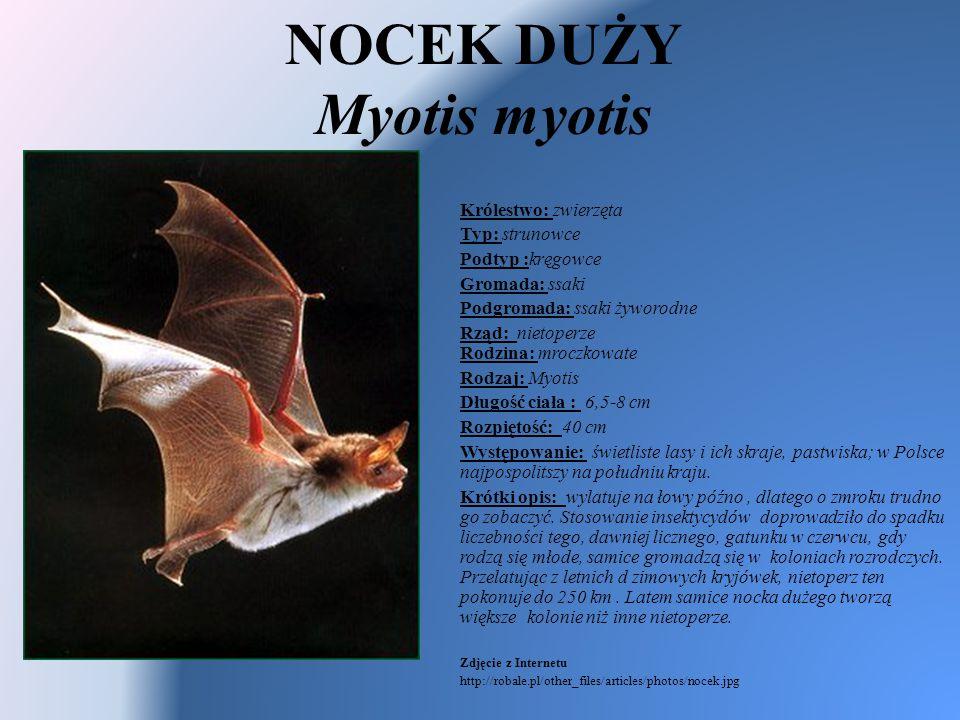 NOCEK DUŻY Myotis myotis