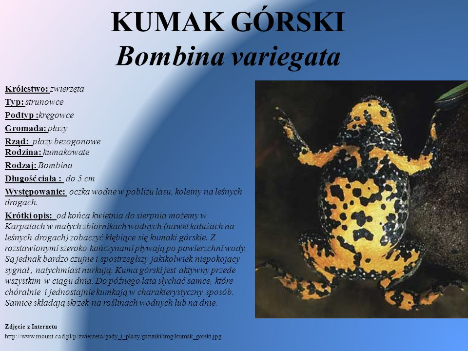 KUMAK GÓRSKI Bombina variegata