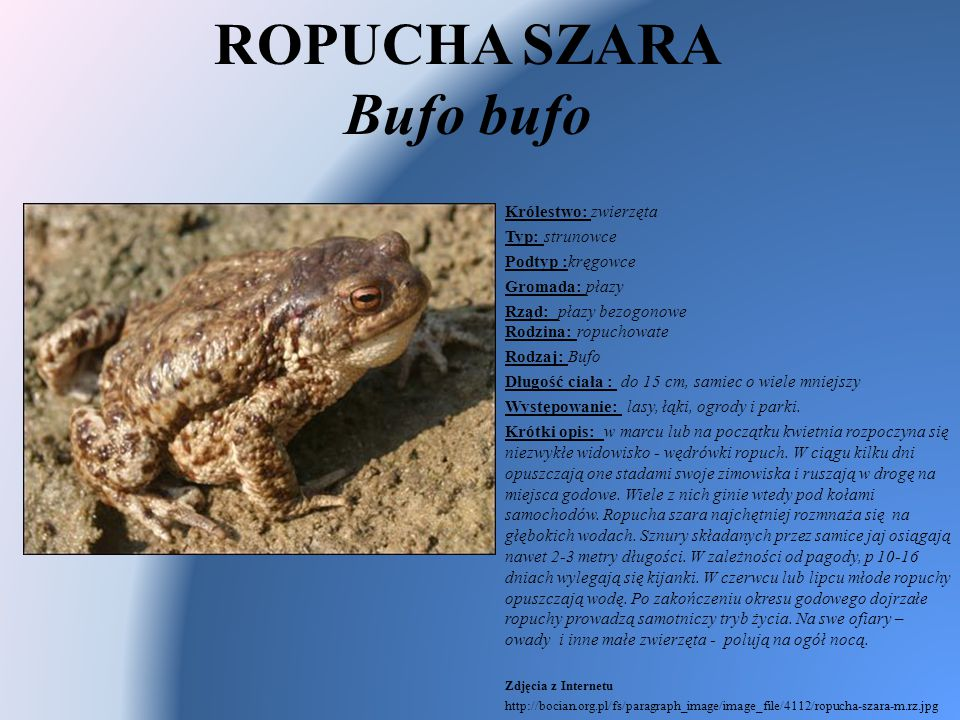 ROPUCHA SZARA Bufo bufo