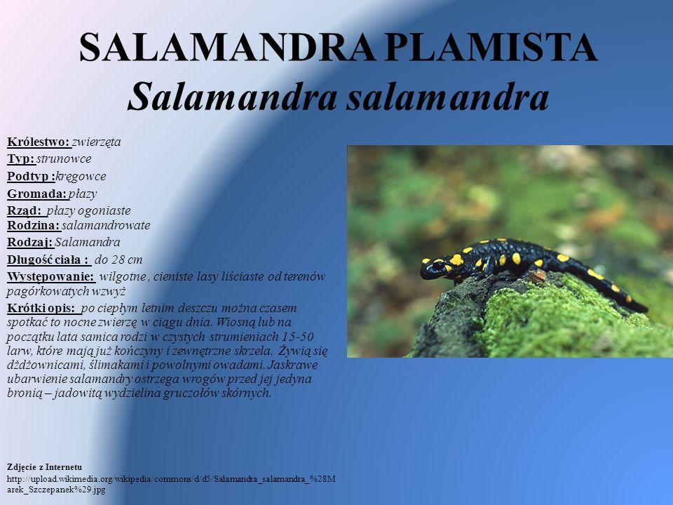 SALAMANDRA PLAMISTA Salamandra salamandra