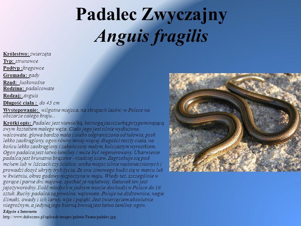 Padalec Zwyczajny Anguis fragilis