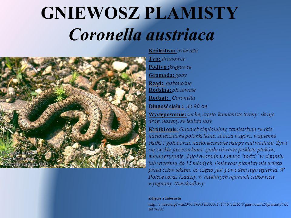 GNIEWOSZ PLAMISTY Coronella austriaca