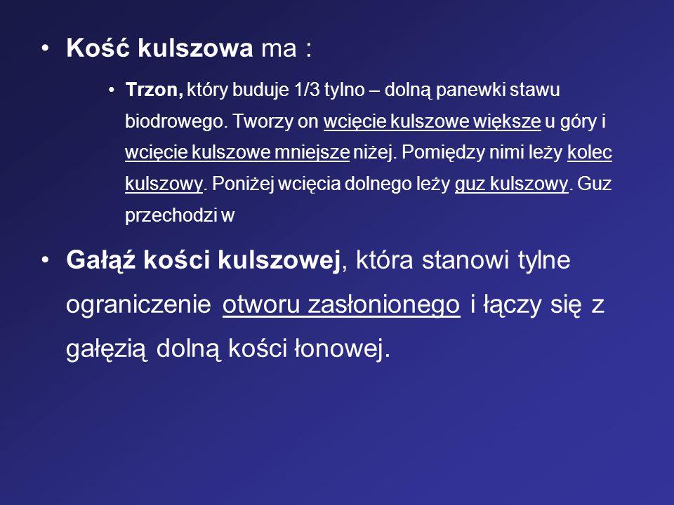 Kość kulszowa ma :