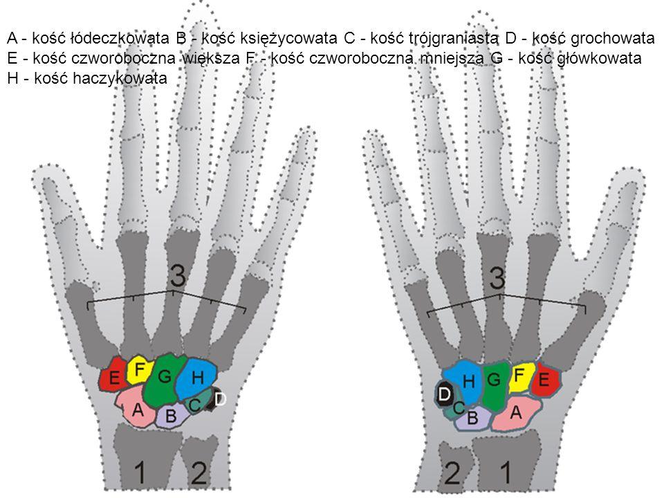 A - kość łódeczkowata B - kość księżycowata C - kość trójgraniasta D - kość grochowata E - kość czworoboczna większa F - kość czworoboczna mniejsza G - kość główkowata H - kość haczykowata
