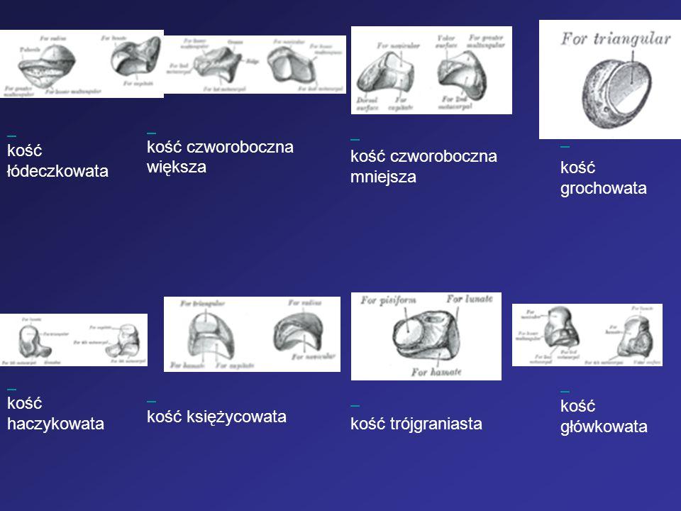kość łódeczkowata. kość czworoboczna większa. kość czworoboczna mniejsza. kość grochowata.
