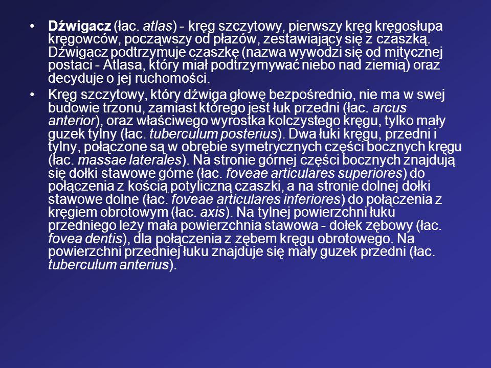Dźwigacz (łac. atlas) - kręg szczytowy, pierwszy kręg kręgosłupa kręgowców, począwszy od płazów, zestawiający się z czaszką. Dźwigacz podtrzymuje czaszkę (nazwa wywodzi się od mitycznej postaci - Atlasa, który miał podtrzymywać niebo nad ziemią) oraz decyduje o jej ruchomości.