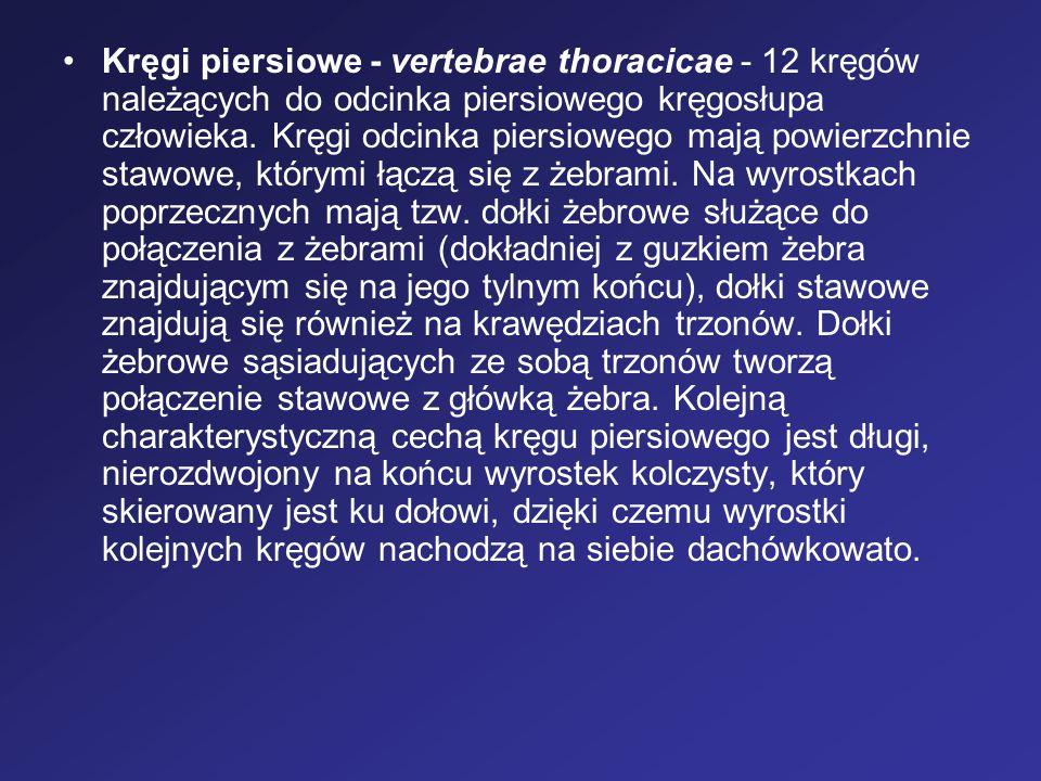 Kręgi piersiowe - vertebrae thoracicae - 12 kręgów należących do odcinka piersiowego kręgosłupa człowieka.