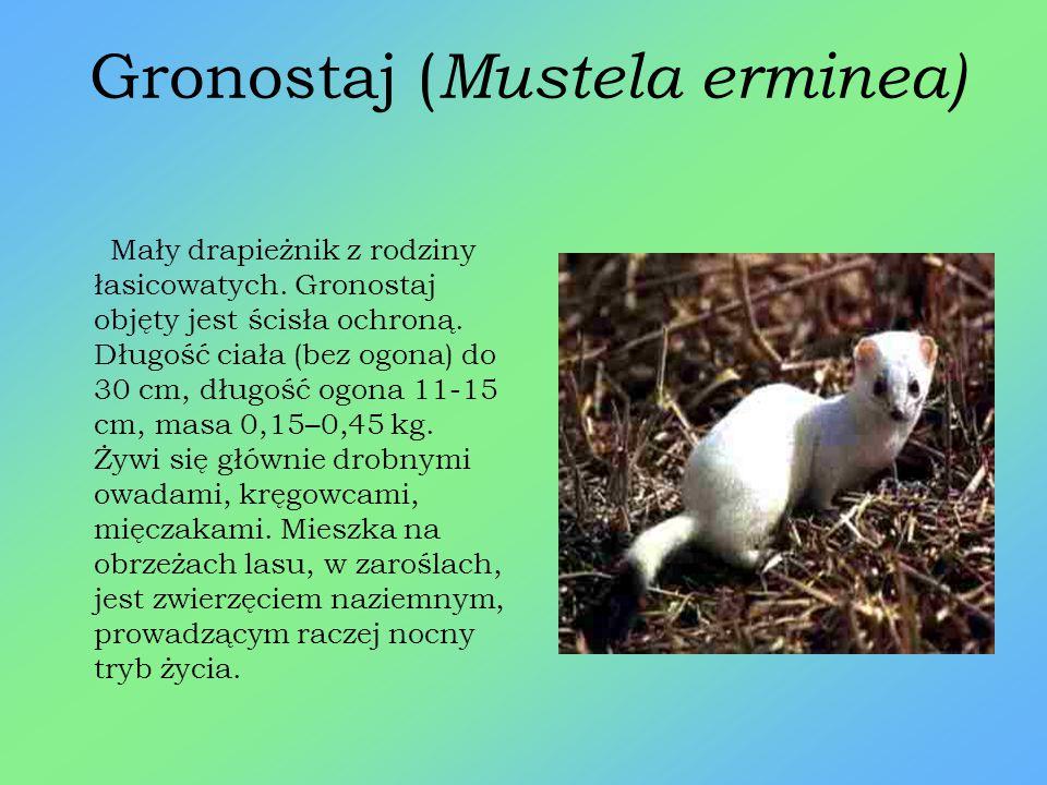 Gronostaj (Mustela erminea)
