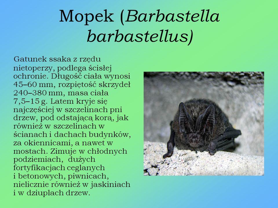 Mopek (Barbastella barbastellus)