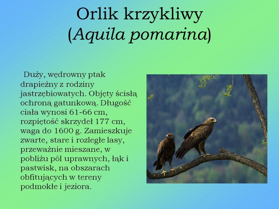 Orlik krzykliwy (Aquila pomarina)