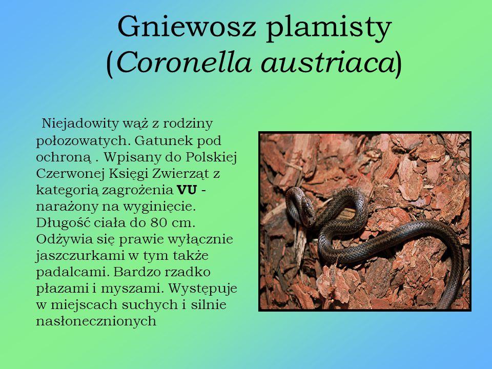 Gniewosz plamisty (Coronella austriaca)