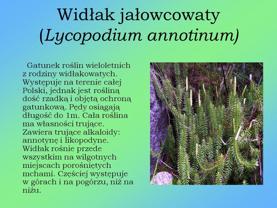 Widłak jałowcowaty (Lycopodium annotinum)