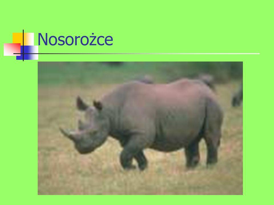 Nosorożce
