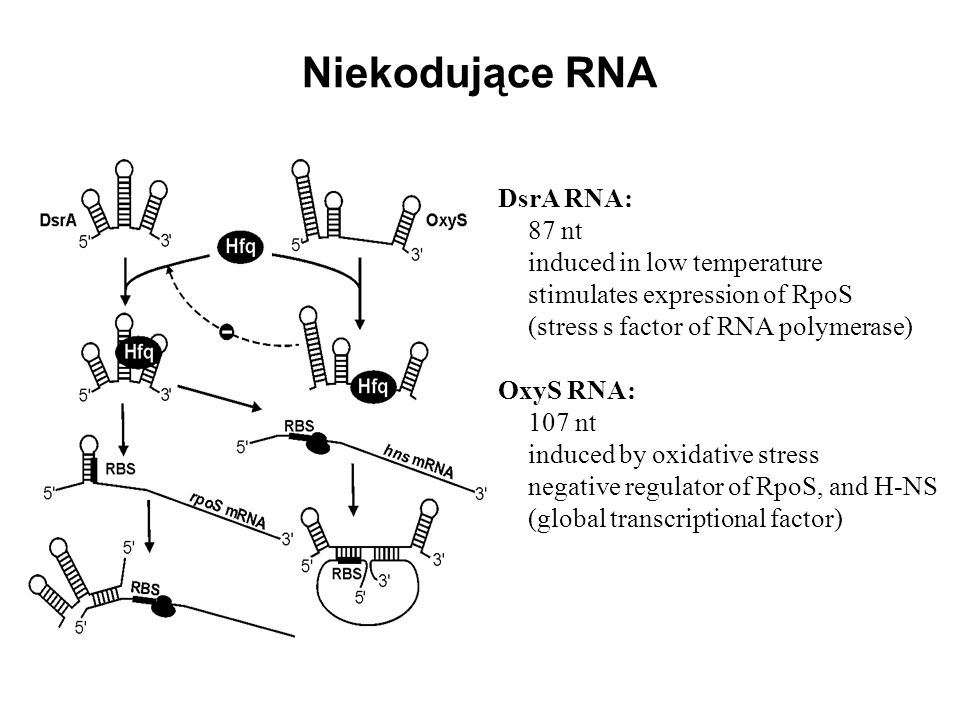 Niekodujące RNA DsrA RNA: 87 nt induced in low temperature